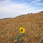 Saturday snapshot Gascony sunflower © J Horak-Druiff 2012