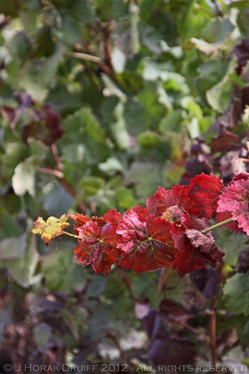 Alentejo red vine © J Horak-Druiff 2012