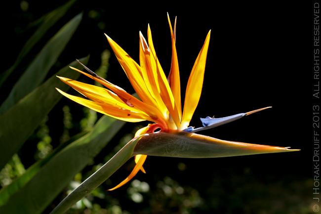 Strelitzia flower © J Horak-Druiff 2013