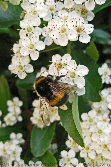 Bumblebee © J Horak-Druiff 2013