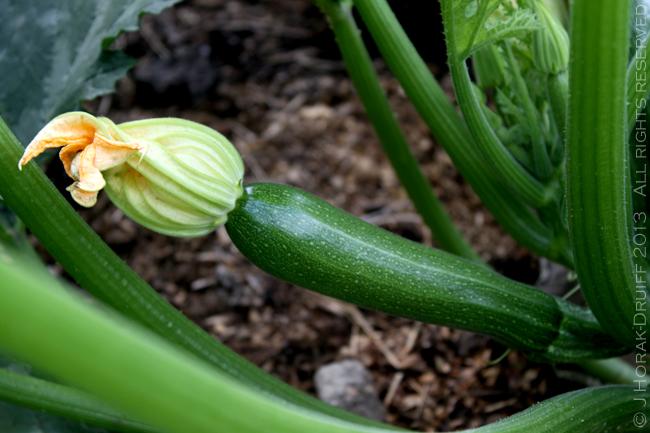 ZucchiniFlowers1 © J Horak-Druiff 2013