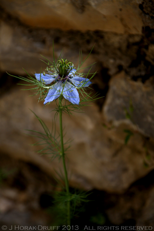 BlueFlower © J Horak-Druiff 2013