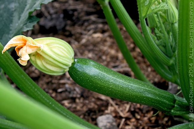 Zucchini © J Horak-Druiff 2014