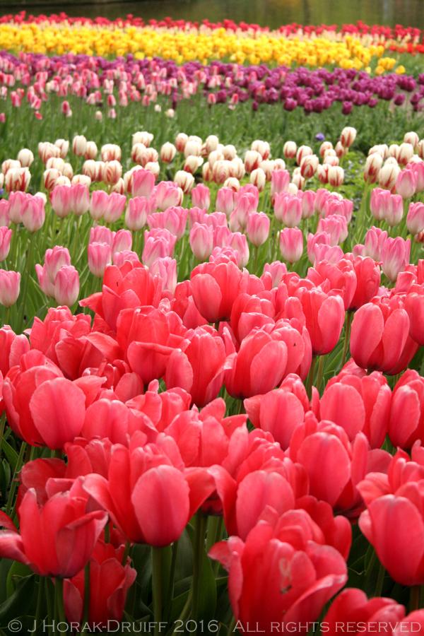 Keukenhof-Tulips-Title