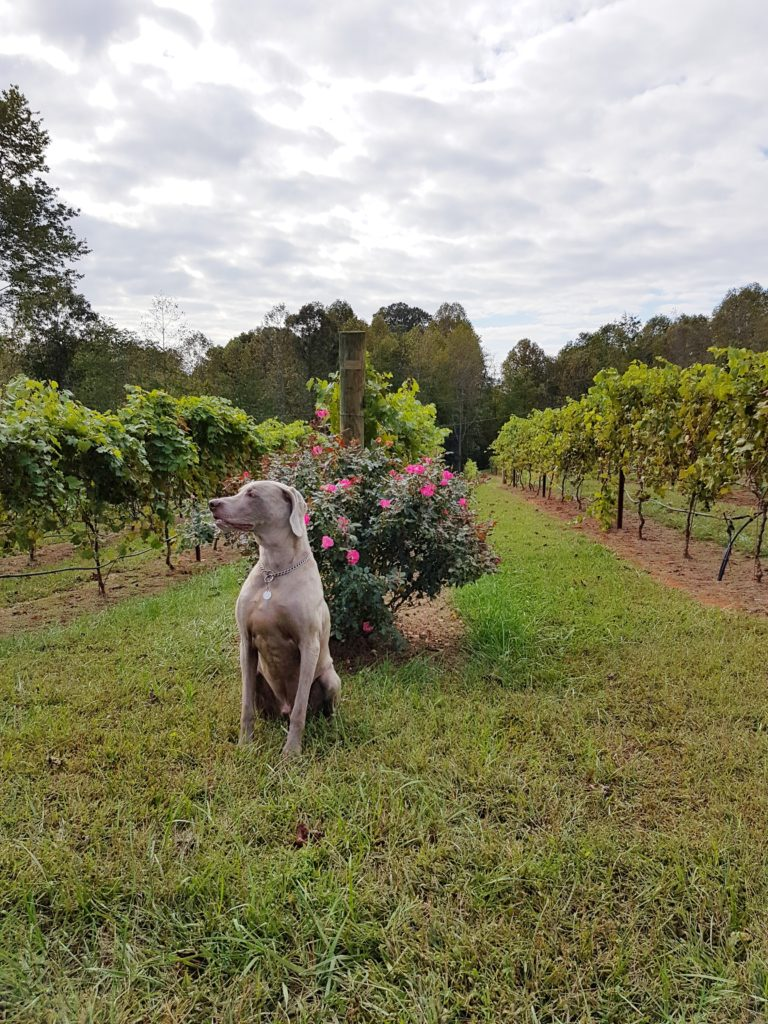 yadkin-valley-jolo-winery-chief-the-wine-dog