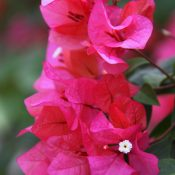 Saturday-Snapshots-Bougainvillea