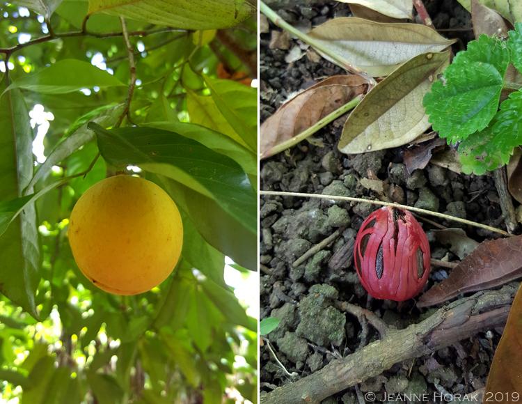 Grenada-Chocolate-Co-nutmeg-mace © J Horak 2019