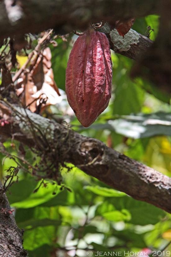 Grenada-crayfish-bay-cocoa-pod © J Horak 2019